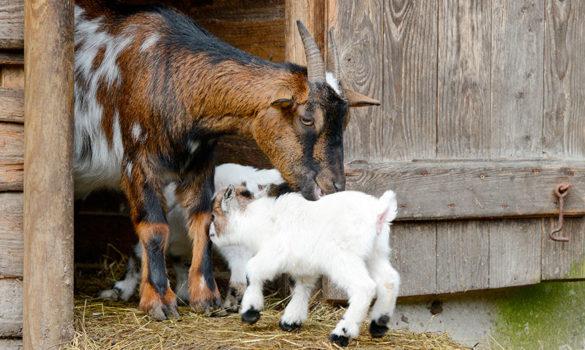 pastor-de-cabras